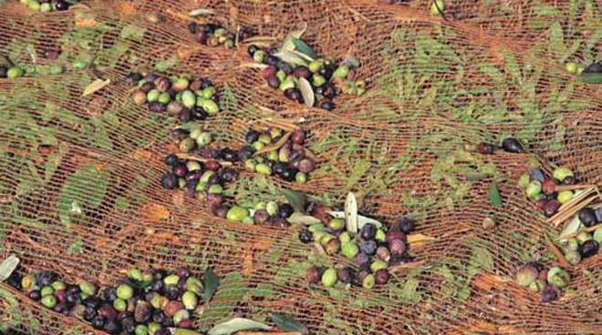 olive taggiasche 2