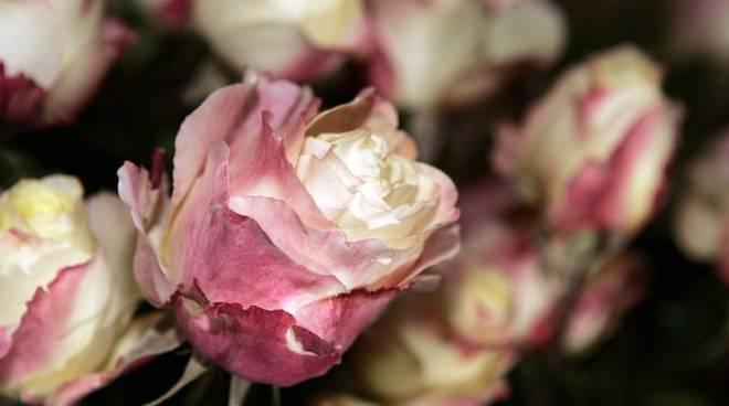 San Biagio Della Cima: Nel Week End Le Più Belle Rose Del Passato E Le  Ultime Ibridazioni   Riviera24