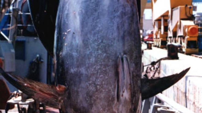 Il tonno