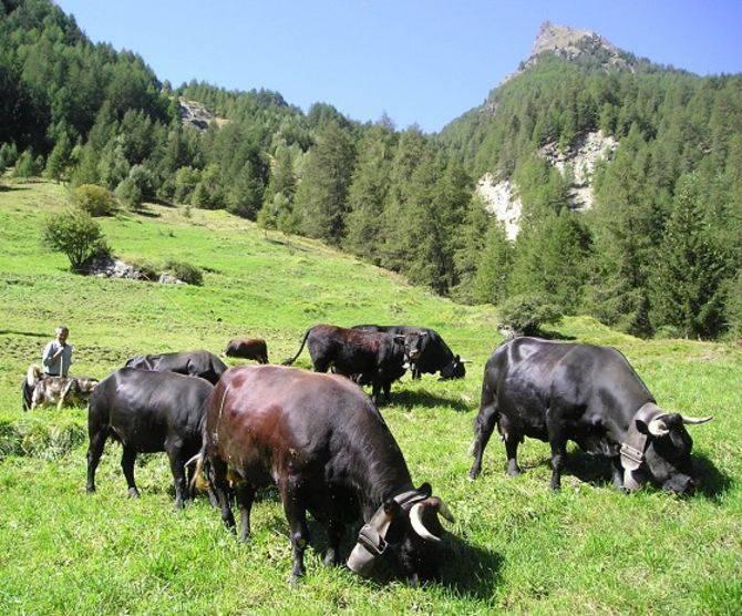 Bovini mucche mucca