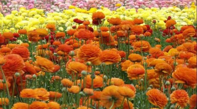 fiori serra ranuncoli