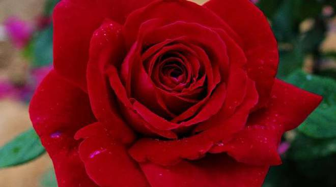 rosa botticelli