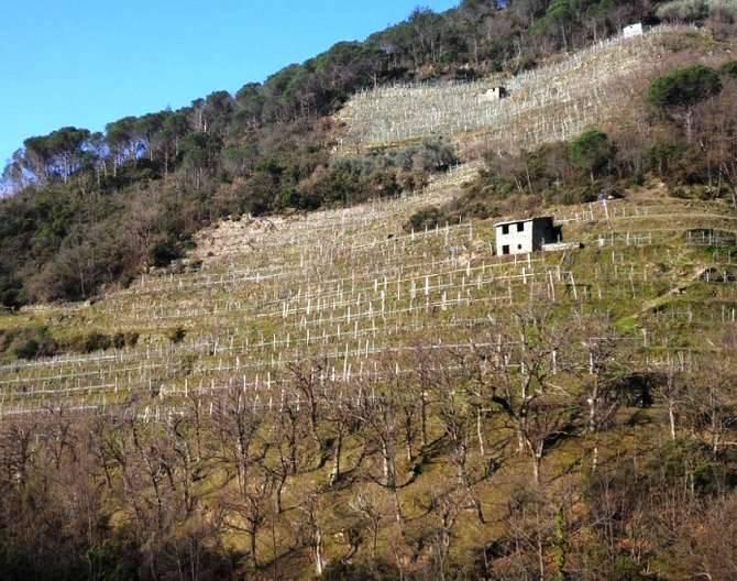 La coltivazione nelle fasce, tipica del paesaggio ligure