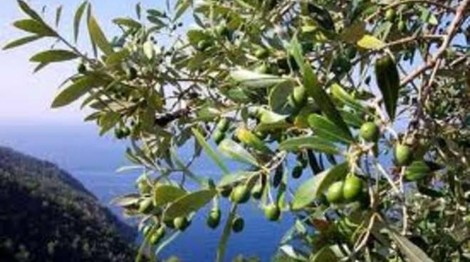 olivo panoramico
