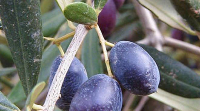 Oliva taggiasca generica