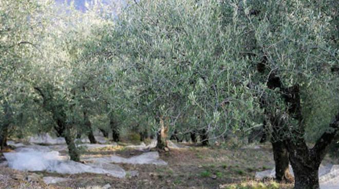 piante di olivo - ulivo