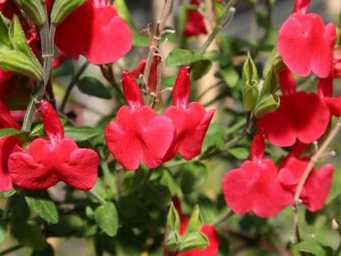 fiori generica salvia