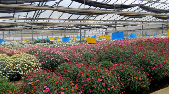 fiori serra generica