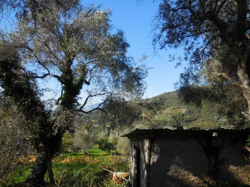 Seborga: alla ricerca delle origini dell'olivo taggiasco