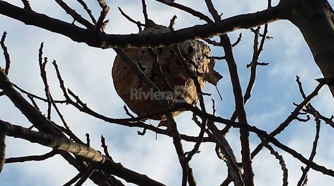 Interventi rimozione nidi vespa velutina protezione civile AIB Bordighera