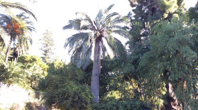 jubaea chilensis bordighera