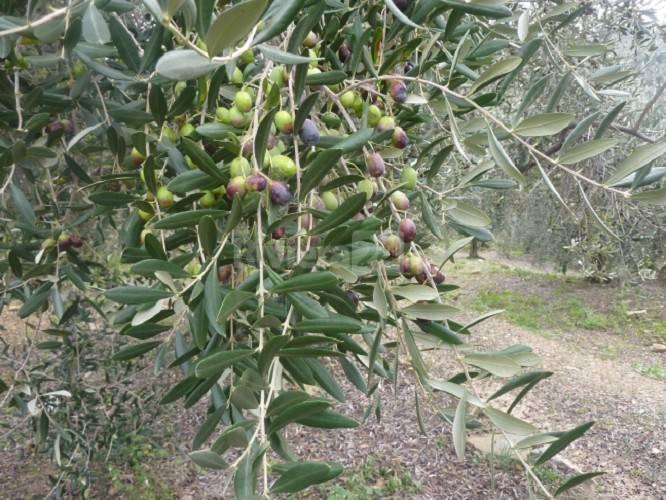 Domenica delle palme: Papa Francesco benedirà anche le olive di Prelà