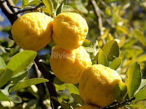 pianta di limone generica