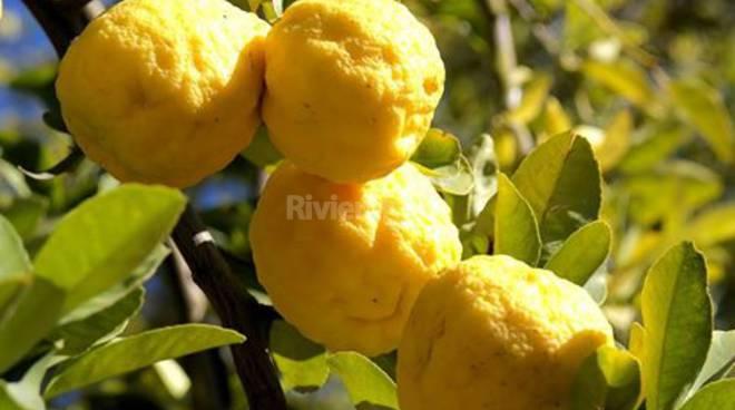 Ritorno alle antiche coltivazioni di limoni riviera24 for Pianta di limone