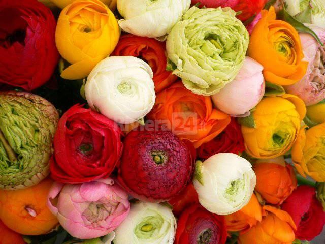 Ranuncoli, anemoni - fiori di sanremo
