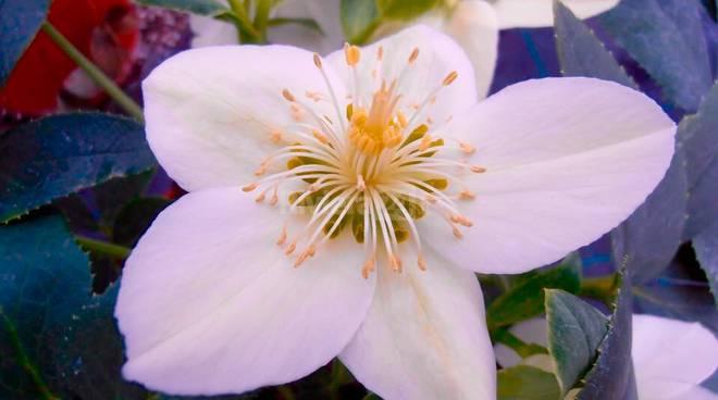 riva ligure sanremo in fiore