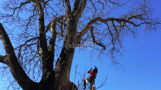 riviera24 - Cura degli alberi monumentali
