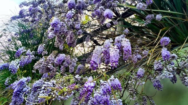 Riviera24 - glicine in fiore