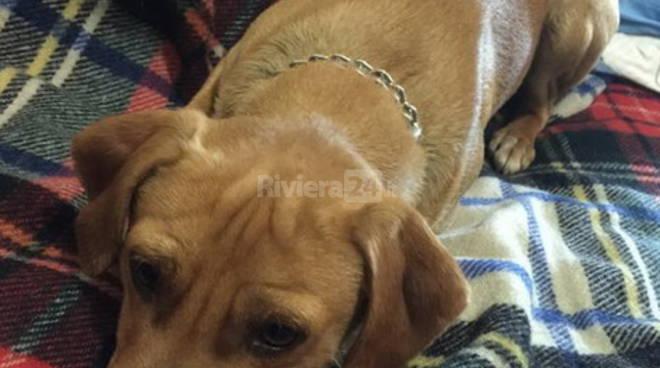 riviera24 - La Lega del Cane lancia un appello per salvare uno dei cagnolini di Camporosso