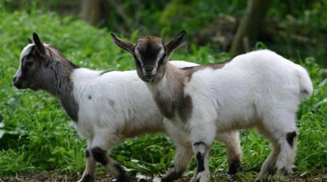 Allevare una capra domestica: un animale da compagnia che ...