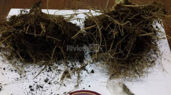 riviera24 - Radici di marijuana