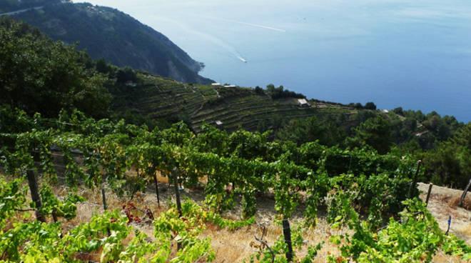 Riviera24 - viticoltura, vigneto, vigna