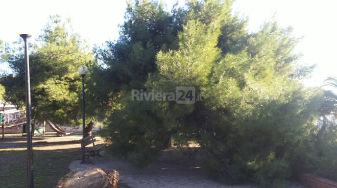Riviera24 - Sanremo, pino marittimo caduto in via Scoglio