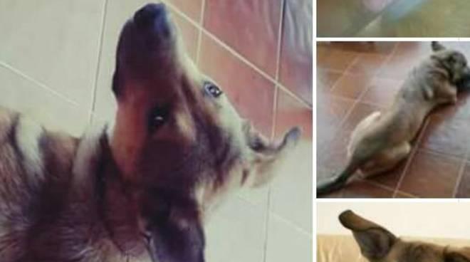 riviera24 - Cane scomparso Chloe