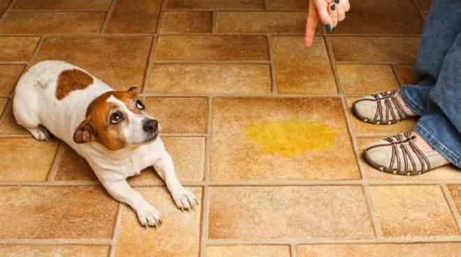 Educazione Cinofila Perché Il Cucciolo Fa La Pipì In Casa Riviera24