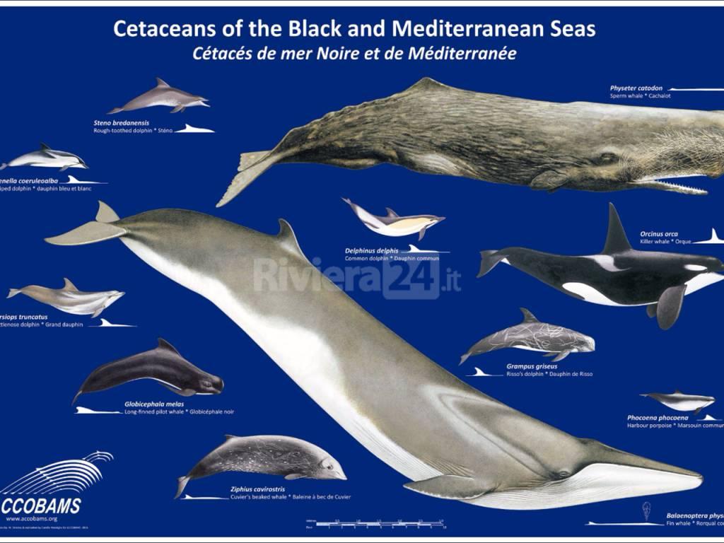 Riviera24 I Cetacei del mediterraneo