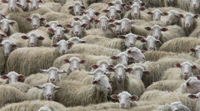 riviera24 - pecore