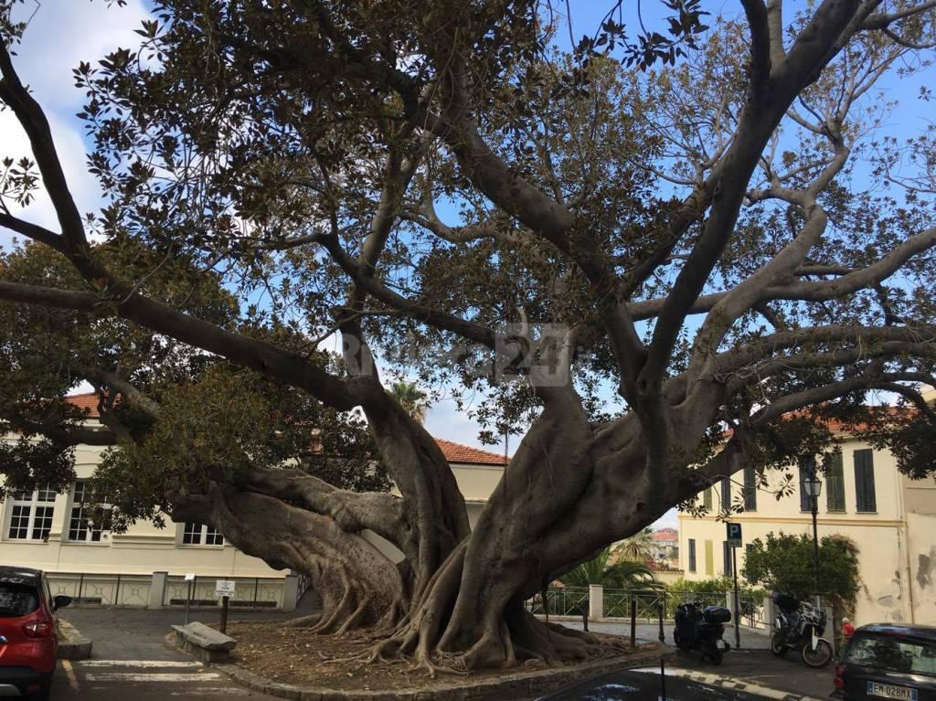 Bordighera, il Ficus macrophylla (scibreta) dovrà essere potato