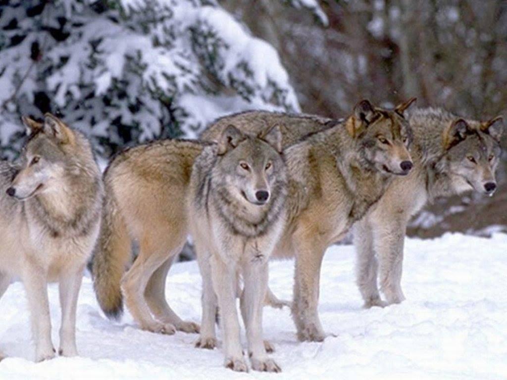 Branco lupi
