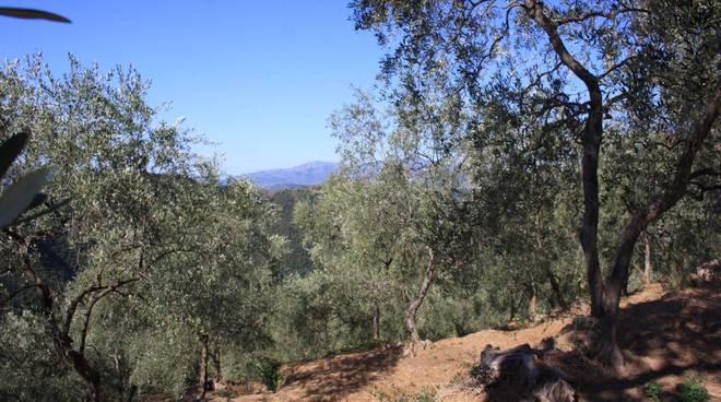 riviera24 - Bajardo olivi