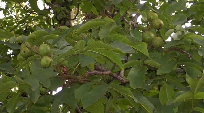 nuovo albero di noce a taggia per celebrare san francesco