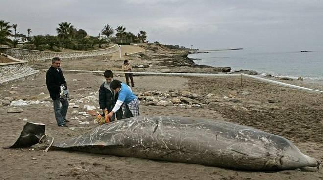 riviera24 - delfino zifio