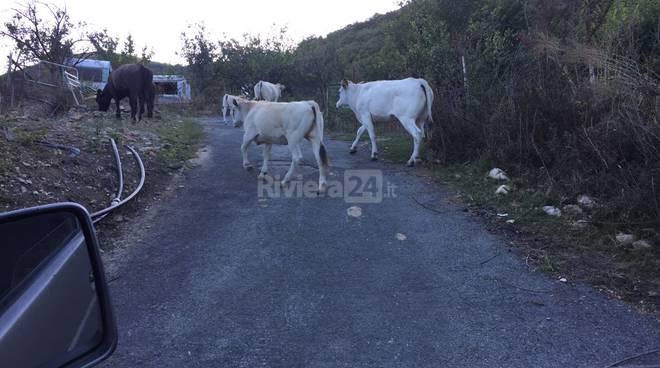 riviera24 - toro mucche evigno