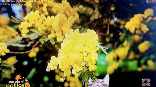 Mimosa di Seborga su Rete 4