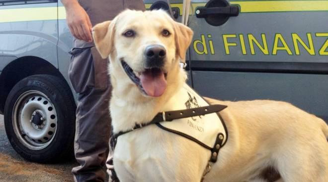 riviera24 - cocaina guardia di finanza cane antidroga