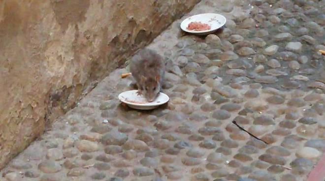 riviera24 -  grosso ratto ruba il cibo dalla ciotola davanti ai gatti