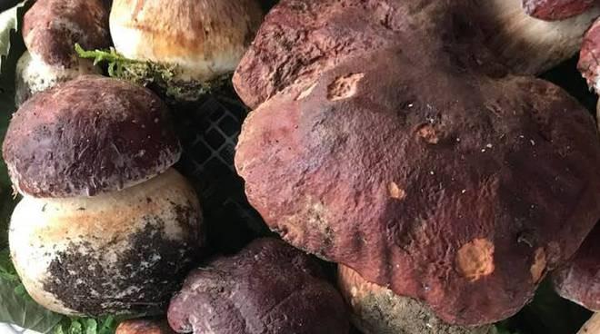 Piove e fa caldo: annata record in provincia per la raccolta dei funghi