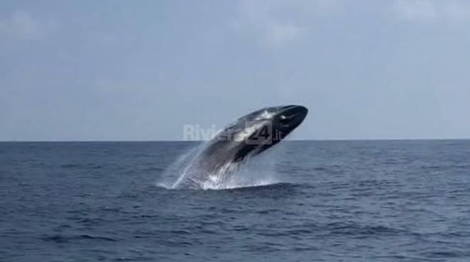 riviera24 - balenottera comune