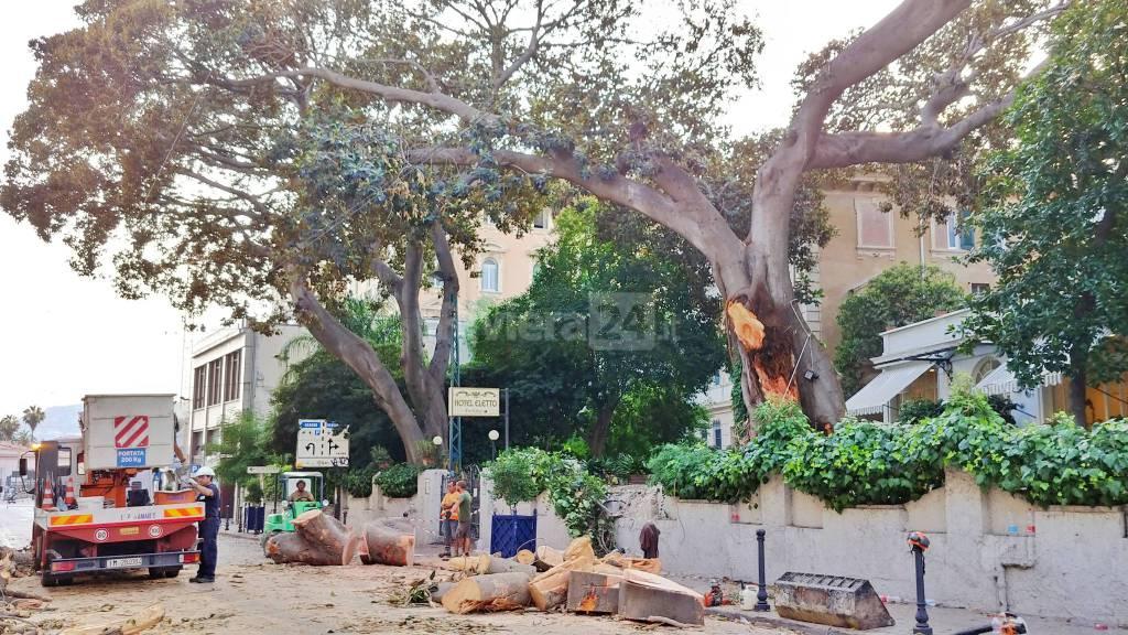 riviera24-Sanremo, albero caduto in via Roma: l'Aurelia rimane chiusa