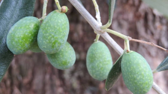 riviera24- olive generica