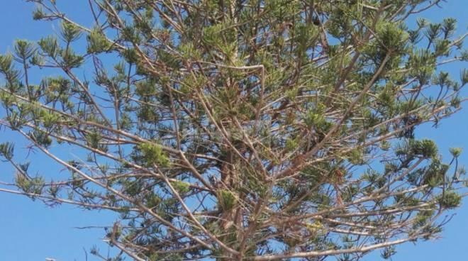 Araucaria Bordighera