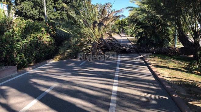 riviera24 - Caduta palma su ciclabile sanremo