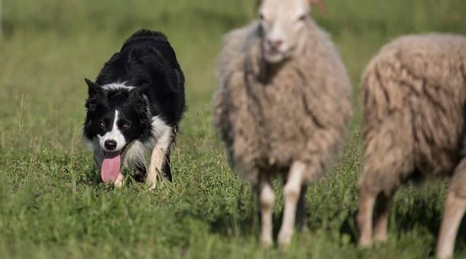 Sheepdog a Ranzo