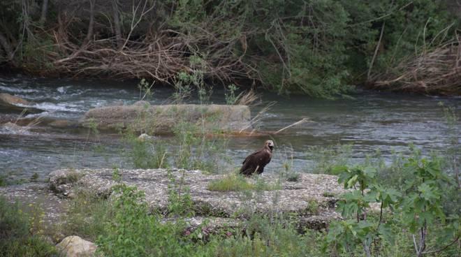 Avvoltoio monaco dal Verdon a Imperia