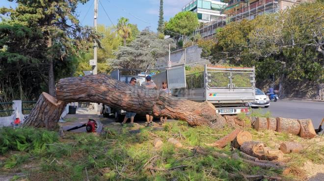 pino abbattuto