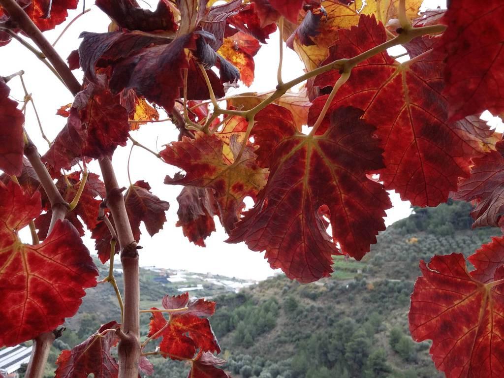 riviera24 - Moscatello di Taggia
